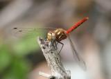 Sympetrum pallipes; Striped Meadowhawk; male