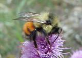 Bombus melanopygus; Black-tailed Bumble Bee