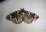 7207 - Eulithis xylina; Geometrid Moth species