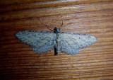 7449-7605 - Eupithecia Geometrid Moth species