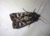 10854 - Euxoa servitus; Dart Moth species