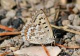 Lycaena editha; Edith's Copper