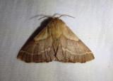 7702 - Malacosoma californica; Western Tent Caterpillar Moth; female