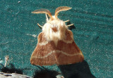 7702 - Malacosoma californica; Western Tent Caterpillar Moth; male