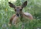 Mule Deer; doe