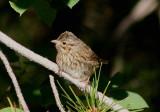 Lincoln's Sparrow; juvenile
