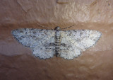 6455-6477 - Stenoporpia Geometrid Moth species