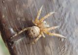Larinioides patagiatus; Furrow Orb Weaver species; immature