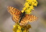 Boloria selene; Silver-bordered Fritillary