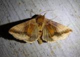 8917 - Autographa metallica; Owlet Moth species