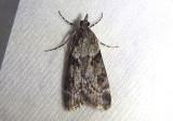 4705 - Cosipara tricoloralis; Tricolored Cosipara
