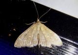 5137 - Mecyna mustelinalis; Crambid Snout Moth species