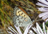 Lycaena mariposa; Mariposa Copper