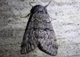 9178 - Panthea virginarius; Owlet Moth species