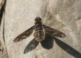 Poecilanthrax Bee Fly species