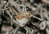 Song Sparrow; juvenile