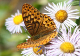 Speyeria hydaspe; Hydaspe Fritillary; male