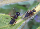 Camponotus modoc; Western Black Carpenter Ant