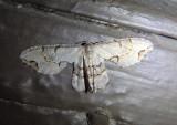7650 - Callizzia amorata; Gray Scoopwing