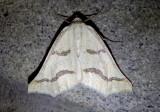 6852 - Eriplatymetra coloradaria; Geometrid Moth species
