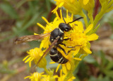 Eumeninae Potter Wasp species