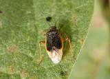 Miridae Plant Bug species