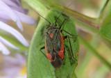 Prepops Plant Bug species