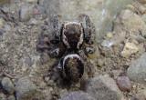 Evarcha proszynskii; Jumping Spider species