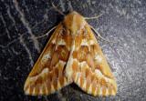 6865 - Caripeta aequaliaria; Red Girdle