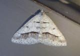 6396 - Digrammia neptaria; Dark-bordered Granite Moth