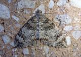 7182 - Dysstroma citrata; Dark Marbled Carpet