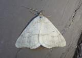 6278 - Speranza evagaria; Drab Angle Moth