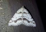 6308 - Speranza colata; Geometrid Moth species