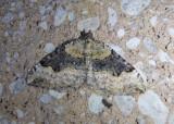 7368-7393 - Xanthorhoe Geometrid Moth species