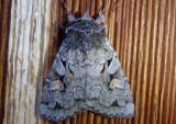 10965 - Xestia imperita; Dart Moth species