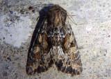 9339 - Apamea auranticolor; Dart Moth species
