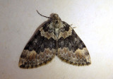 7194 - Dysstroma brunneata; Geometrid Moth species