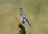 Mountain Bluebird; female