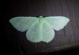 7018 - Nemoria unitaria; Single-lined Emerald
