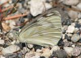 Pontia protodice; Checkered White; female