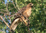 Red-tailed Hawk; rufous morph