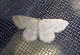 7164 - Scopula junctaria; Simple Wave Moth