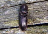 Selatosomus Click Beetle species