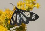 8037 - Gnophaela vermiculata; Police Car Moth