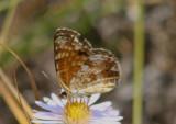 Phyciodes pulchella; Field Crescent