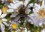 Tachinidae Tachinid Fly species