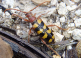 Xestoleptura crassicornis; Flower Longhorn Beetle species