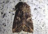10232 - Anarta farnhami; Dart Moth species