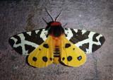 8166 - Arctia caja; Great Tiger Moth