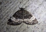 7313 - Spargania luctuata; White-banded Carpet